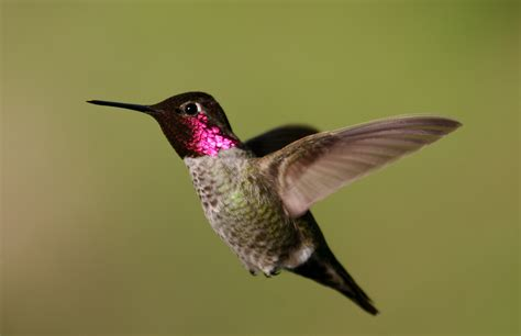 can i install hummingbird flying on a christmas tree s hummingbird wikiwand