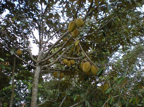 Harga Buah Segar Di Pohon by Pengembangan Kawasan Komoditas Hortikultura Tanaman Buah