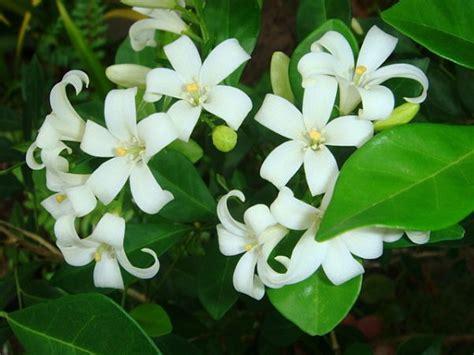 kemuning ciri ciri tanaman  khasiat  manfaatnya