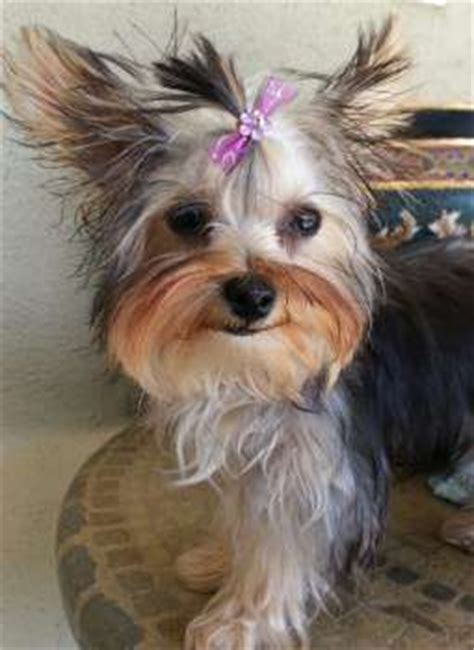 yorkie losing hair yorkie hair terrier information center
