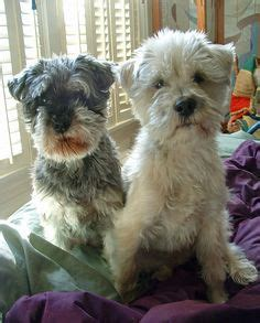 schnauzer poodle lifespan 1000 images about pets poodles and mixes on