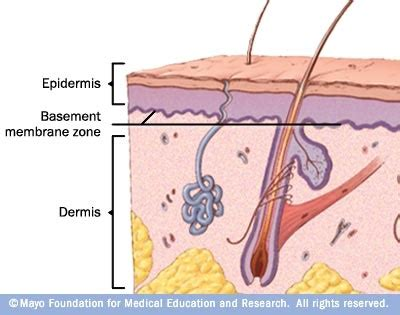 basement membrane of skin 25 best ideas about layers of dermis on