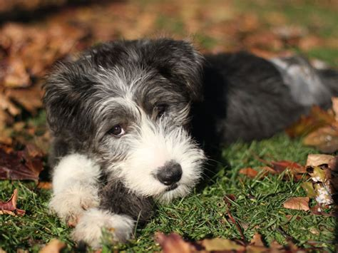 bearded collie puppy bearded collie puppies