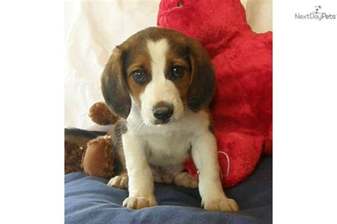beagle boxer mix puppies for sale mixed other puppy for adoption near 258c5e99 3032