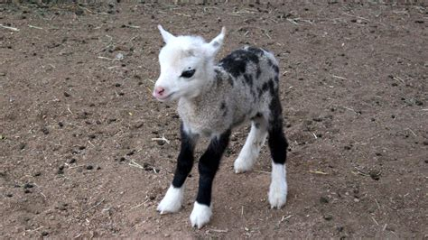 Goat Standing On Cow baby geep a cross between a goat and a sheep is stealing