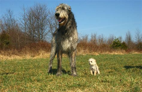 largest breeds top 10 breeds in the world