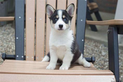 horgi puppies siborgi horgi puppy for sale in ohio