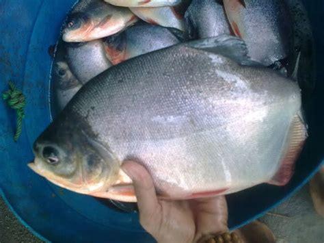 Benih Ikan Bawal Di Aceh benih ikan ku jual ikan bawal konsumsi