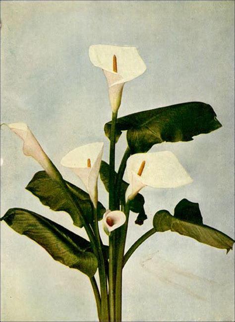 calla lily picture