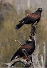 hawks that hunt in packs hooded talons bird pest services bird
