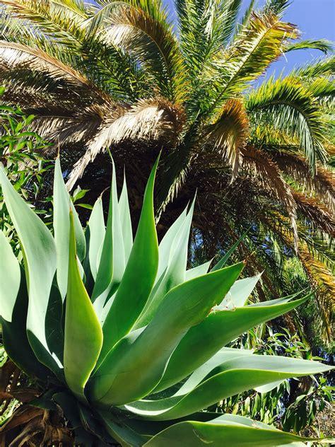 images gratuites la nature palmier fleur paume usine botanique succulent jardin juteux