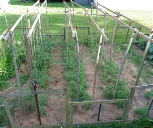 Small Plant Trellis Tomato Plant Maintenance In My Small Kitchen Garden Your
