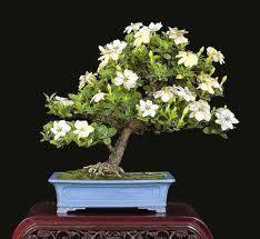 instructions  gardenia care