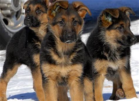 german shepherd wolf mix puppies for sale german shepherd wolf hybrid puppies for sale book covers