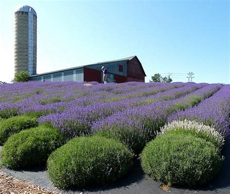 when is lavender in season in michigan upper peninsula writer explores modern native american