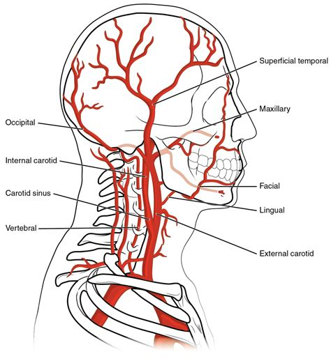 diagram of carotid artery carotid artery diagram anatomy organ