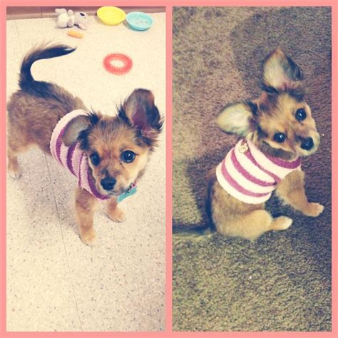 chihuahua yorkie papillon mix chihuahua papillon mix with yorkie breeds picture