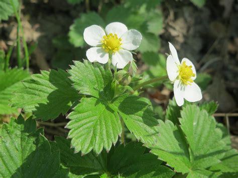 nedlasting filmer wild strawberries gratis bildet blomstre anlegg frukt b 230 r blomst urt makro