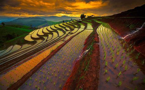 rice fields  thailand hd wallpaper background image
