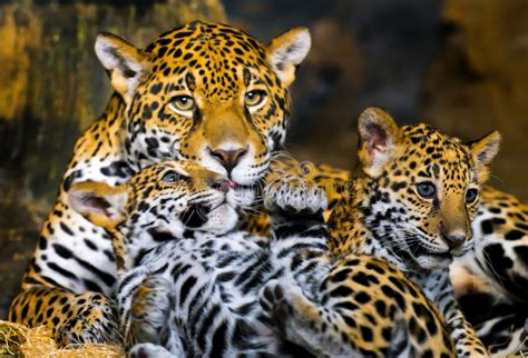 jaguar cubs stock image image  forest orange panther