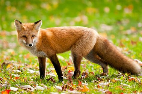 best fox pictures n 186 fascinating facts and information ᗖ about about fox for ga55