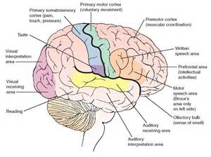 Back gt gallery for gt parts of the brain and their functions top view
