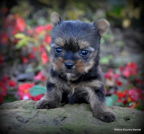 yorkie puppies for sale in kansas city mo mo terrier puppy for sale york shire puppies pups breeders yorkies yorkie