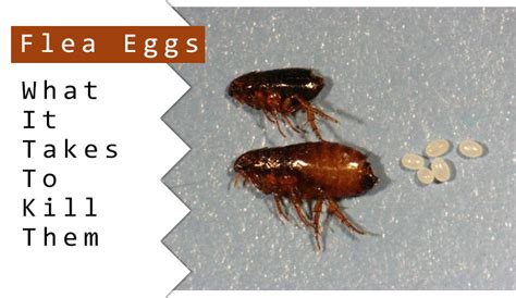 What Can I Buy To Kill Fleas In My House 28 Images How To Get Rid Of Fleas In Your