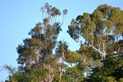 australian trees free stock photo public domain pictures