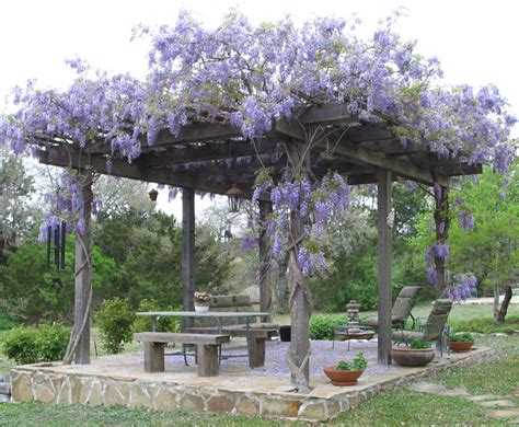 Pergola Climbing Plants Nature S Roof Best Climbing Vines For Pergolas