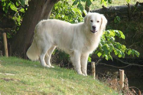 golden retriever siren chiot elevage de la plume du p 233 v 233 le eleveur de chiens labrador retriever