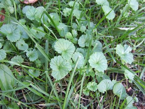 common backyard weeds how to identify common lawn weeds how tos diy