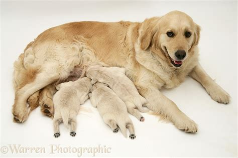 dogs golden retriever with pups photo wp14012