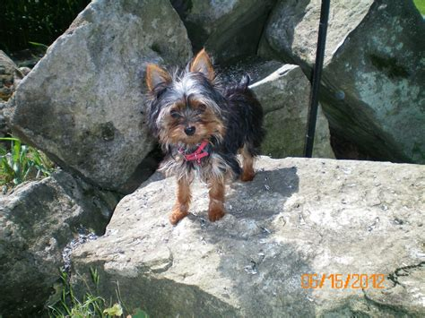 when do yorkies ears stand yorkie ears www simplesite muttonhollowkennels
