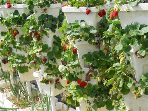 jenis tanaman hidroponik buah buahan berkah khair
