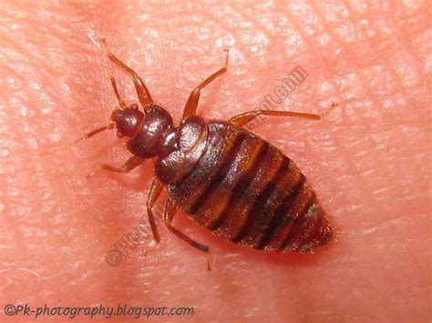 bugs that look like bed bugs pictures what do bed bugs look like nature cultural and travel