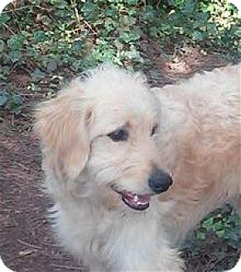 golden retriever poodle mix rescue golden retriever poodle standard mix for adoption in portland oregon leo