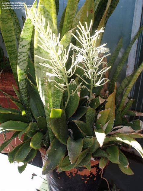 plantfiles pictures sansevieria species snake plant sansevieria horwoodii by manyhats