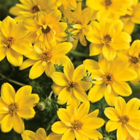 Bidens Pflanze by Goldilocks Rocks 174 Bidens Ferulifolia Proven Winners