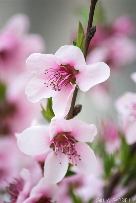 fiori di rosa fiori rosa fiori di pesco sprea fotografia