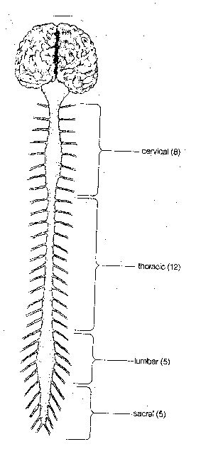anatomy coloring pages nervous system gross neuro anatomy
