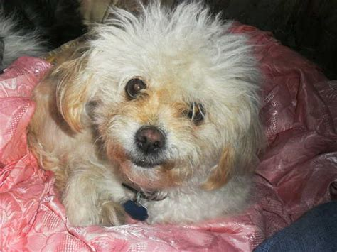 poodle mix with shih tzu shih tzu mixed with poodle for sale pet adoptions west