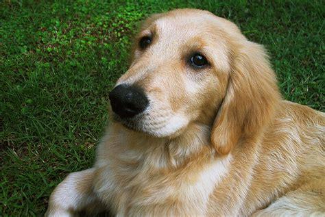 golden retriever puppy wisconsin file golden retriever puppy jpg wikimedia commons