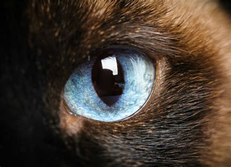 Softlens Cats Eye Soflens Cats Eye tumor of the eye in cats petmd