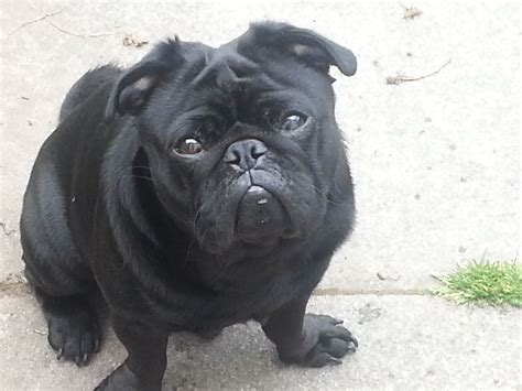 looking pugs black pug lovely looking bootle merseyside pets4homes