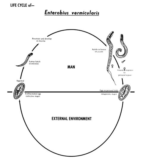 pinworm cycle diagram domain picture this diagram depicts the various