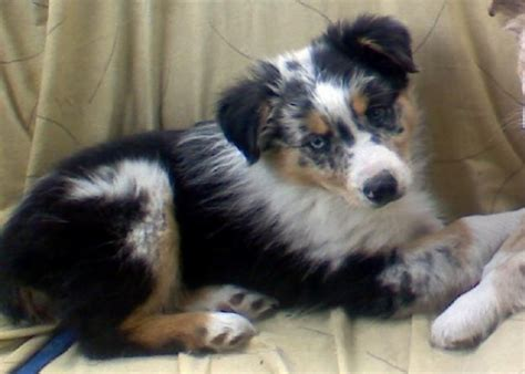 australian shepherd puppies for sale florida 25 best ideas about aussie puppies for sale on mini aussie for sale mini