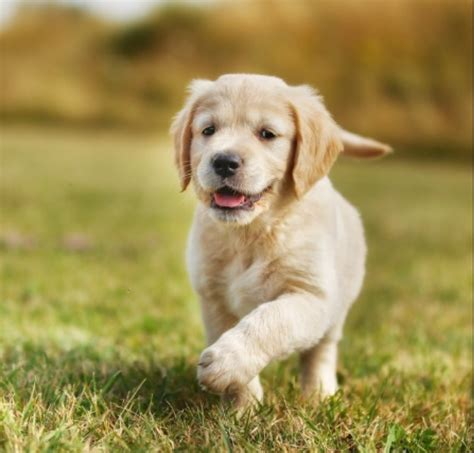 golden puppies for sale pictures of golden retriever puppies www pixshark