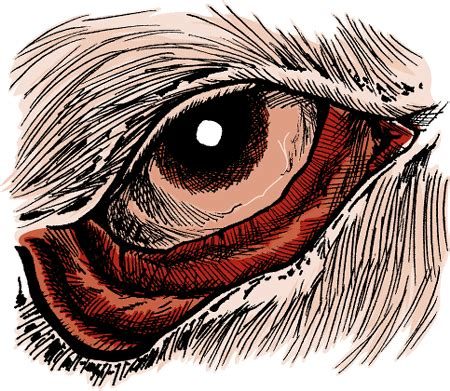 ectropion in dogs disorders of the eyelids in dogs owners merck veterinary manual