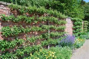 fruit tree garden fruit trees trained on erddig garden 169 haynes